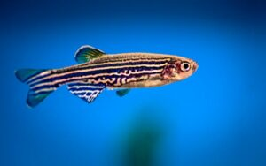 A New Technique Developed For Imaging Zebrafish Brain