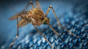 A Microbe Found In Mosquitoes Can Stop Malaria