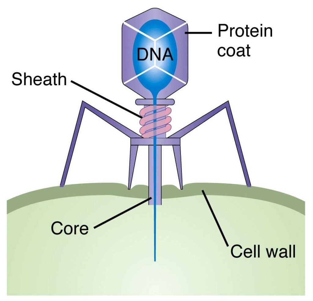 Basic bacteriophage structure