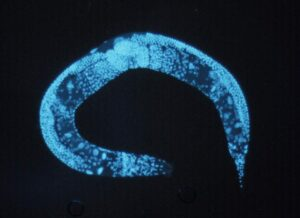 Altering Proteins In Roundworm Gives Hope For Anti-Aging Drugs