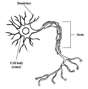 A typical neuron, which creates connections across the nervous system. Neurons communicate with each other through electrical impulses