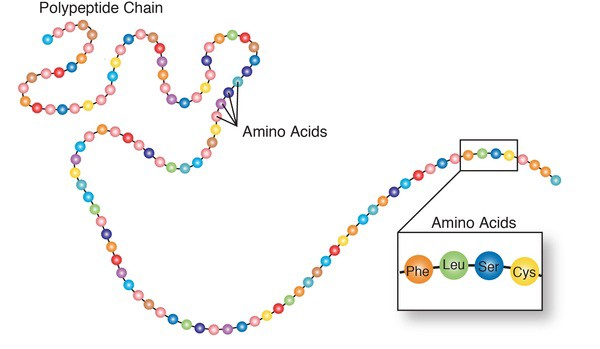 Proteins consist of chains of amino acids