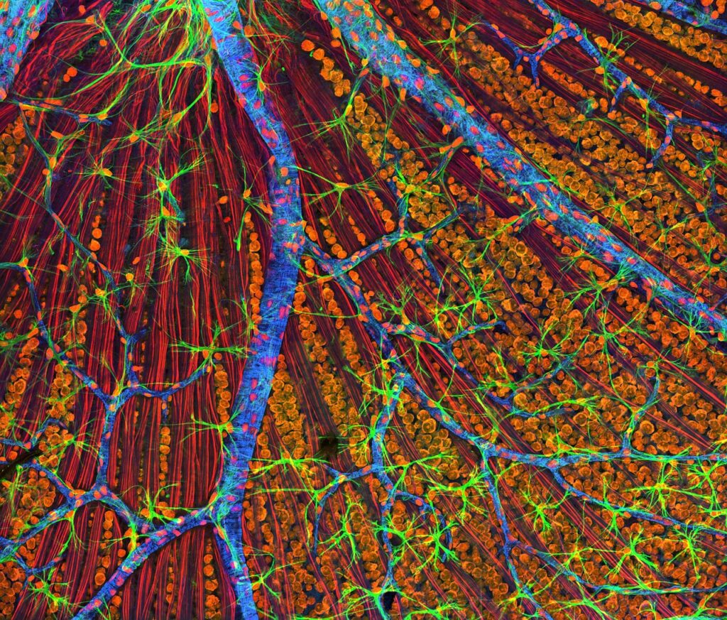 Scientists Successfully Regenerate The Optic Nerve Of Mouse In The Lab