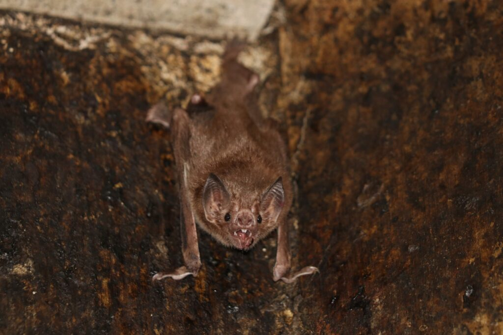 Research Shows That Vampire Bats Socially Distance Themselves When Sick