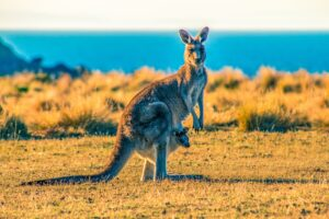 Kangaroos Can Communicate With Humans Like Dogs, Study Finds