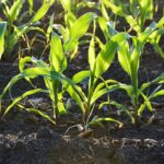 New Discovery Can Help Plants To Grow In Hard Soils