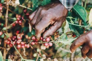 Researchers Find A Fungus Which Can Help Coffee Farmers